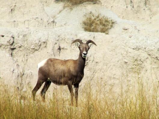 Bighorn sheep1