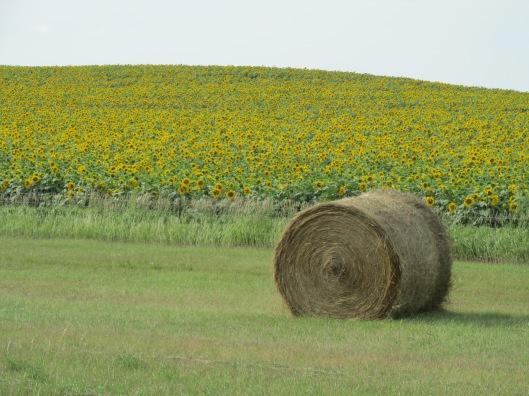 Sunflower field in western North Dakota