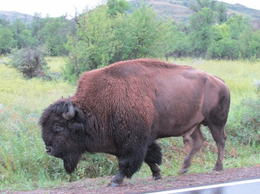 Buffalo strolling along the road, Theodore Roosevelt National Park, western North Dakota
