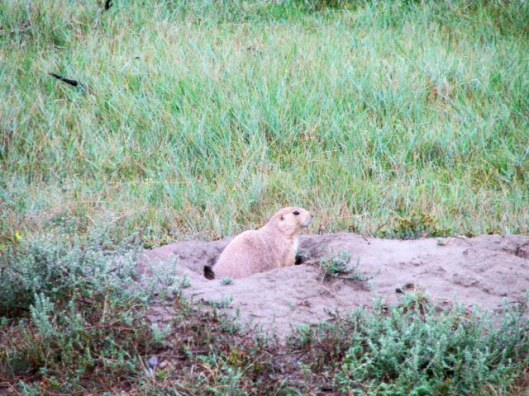 Prairie dog, TRNP, western North Dakota
